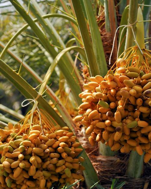 5 58627_Date Palms GettyImages-184276301